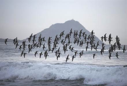 foto gacetilla aves migratorias Aphriza virgata