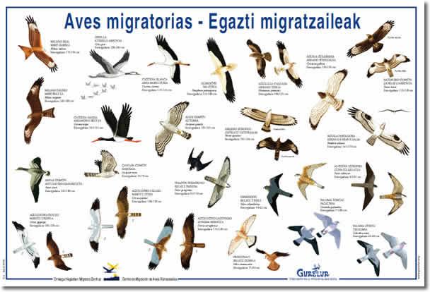 aves-migratorias (2)